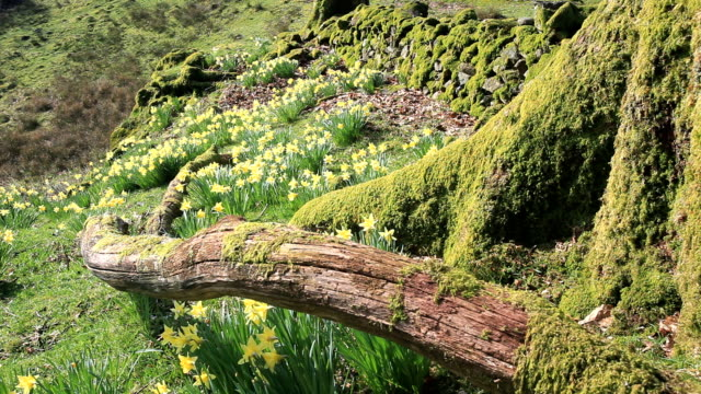 wild daffodils - moss stock videos & royalty-free footage