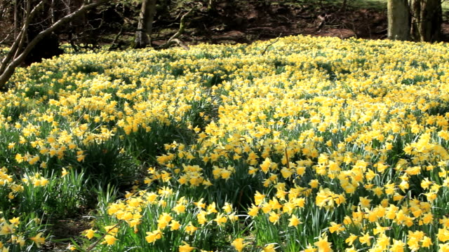wild daffodils - daffodil stock videos & royalty-free footage