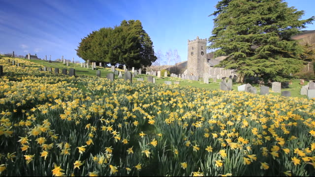 wild daffofils growing in troutbeck church grave yard in the lake district national park, cumbria, uk. - daffodil stock videos & royalty-free footage