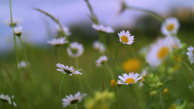 wilde gänseblümchen. frühlingsfeldblumen blühen in weißen farben, die natur erwacht. - dekoration stock-videos und b-roll-filmmaterial
