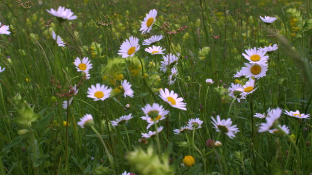 wild daisies. springtime field flowers blooming in white colors, nature is waking up. - wildflower stock videos & royalty-free footage