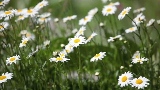 Wild Gänseblümchen