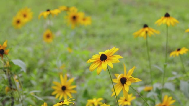 wild daisy swinging with the wind - yellow stock videos & royalty-free footage