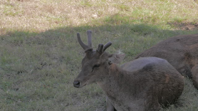 wild deer (timor deer) close-up at komodo island - komodo island stock videos & royalty-free footage