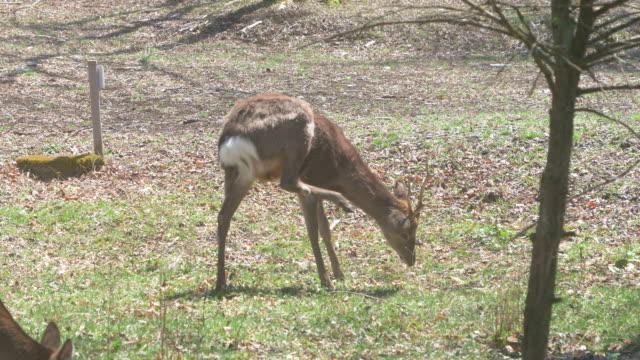 wild deer grazing grass - jp201806 stock videos and b-roll footage