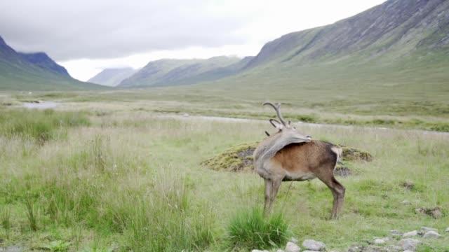 wild deer in glencoe, scotland - antler stock videos & royalty-free footage