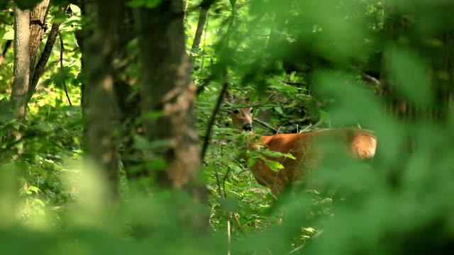 wild deer spooked - hirsch stock-videos und b-roll-filmmaterial