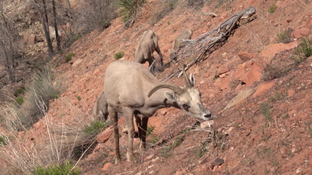 Wild desert bighorn sheep herd Zion National Park cliff Utah eating