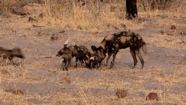 Wild dog adult regurgitating meat to pups.Moremi game reserve.Kenya