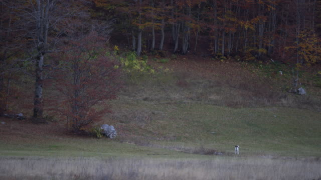 wild dog barking near a forest - durmitor national park stock videos & royalty-free footage
