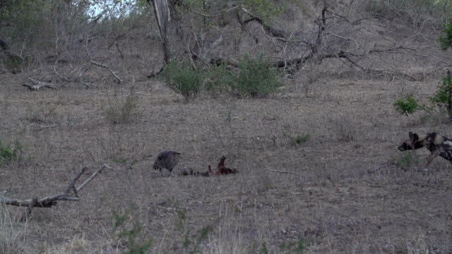 wild dog chases vulture off a carcass, kruger national park, south africa - 絶滅の恐れのある種点の映像素材/bロール