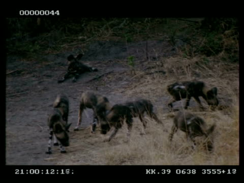 Wild dog, Lycaon picta, pups and mother, foraging amongst grass, MS, Botswana