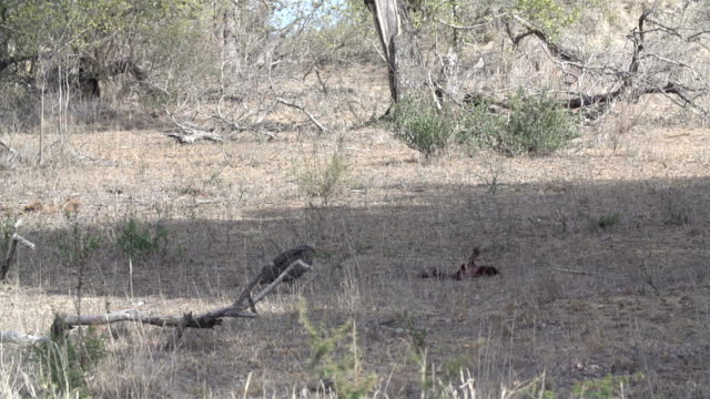 wild dog pup chases vulture of a carcass, kruger national park, south africa - death stock videos & royalty-free footage