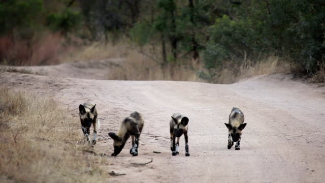 Wild dog pups on gravel road/ Kruger National Park/ South Africa