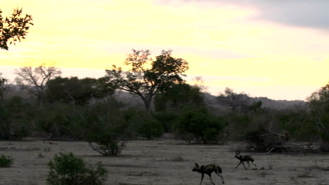 Wild Dog with a limp runs with other dog into sunset, Kruger National Park, South Africa
