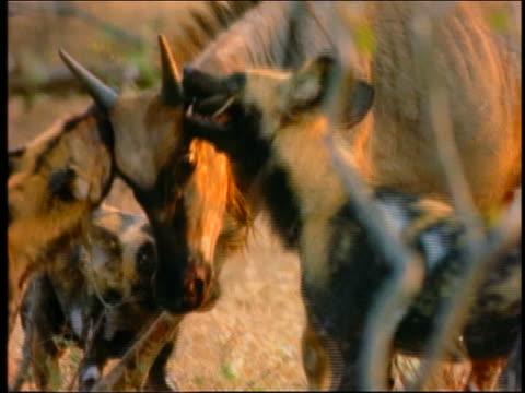 wild dogs attacking wildebeest + biting its ears / africa - 草食性点の映像素材/bロール