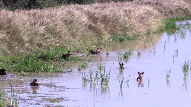 Wild Dogs cool off in pond, Ol Pejeta Conservancy, Kenya