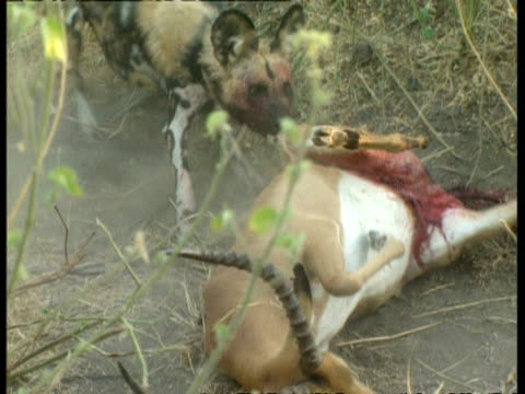 MS Wild dogs dragging and biting recent kill