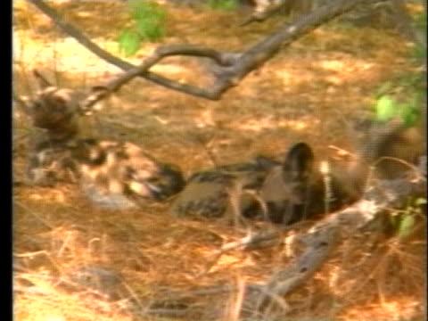 wild dogs lie in a field in the okavango delta botswana - 野生生物保護点の映像素材/bロール