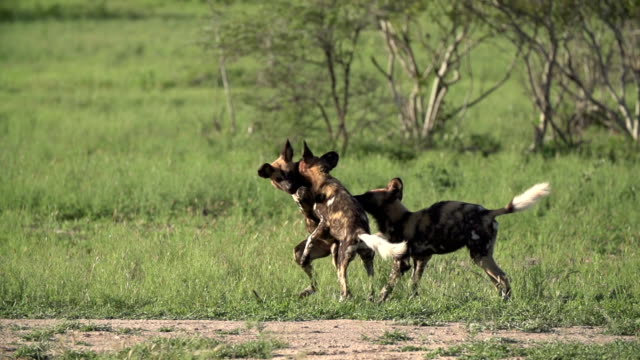 LA wild dogs playing with and biting each other, Kruger National Park, South Africa