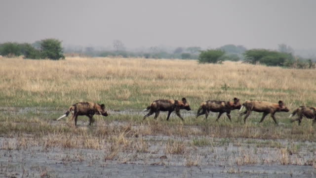 wild dogs - group of animals stock videos & royalty-free footage