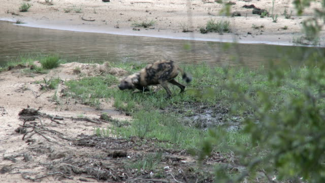 Wild Dogs walking, chasing and playing with each other in shallow riverbed, Kruger National Park, South Africa