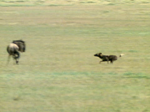 Wild Dogs walking on open plain XWS Wildebeest herd walking on open plain WS Wild Dog running toward Wildebeest Wildebeest preventing attack turning...