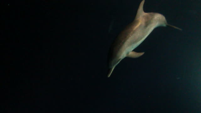 Wild Dolphins at night