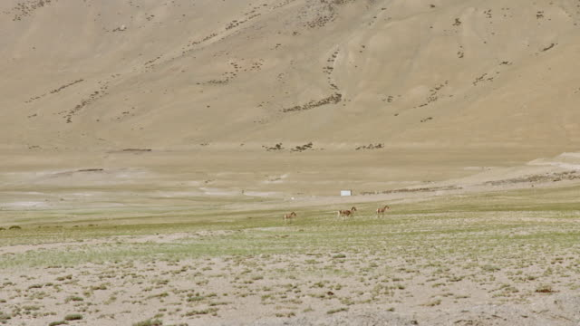 wild donkeys in the himalayas - small group of animals stock videos & royalty-free footage