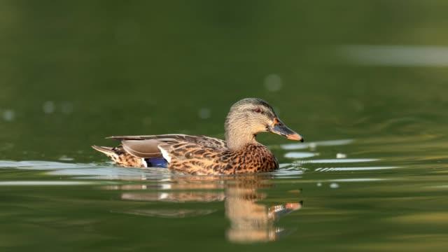 wild duck (anas platyrhynchos) - pond stock videos & royalty-free footage