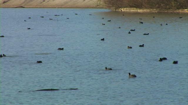 wild enten schwimmen im fluss - wasservogel stock-videos und b-roll-filmmaterial