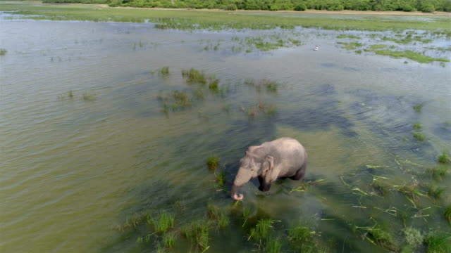 vídeos de stock e filmes b-roll de wild elephant feeding in a lake - sri lanka