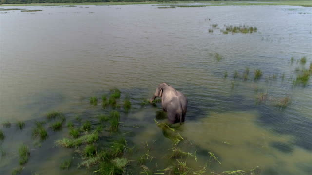 wild elephant feeding in a lake - sri lanka stock videos and b-roll footage