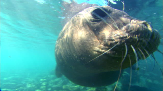 Wild Elephant Seal swimming underwater and bumping into the camera