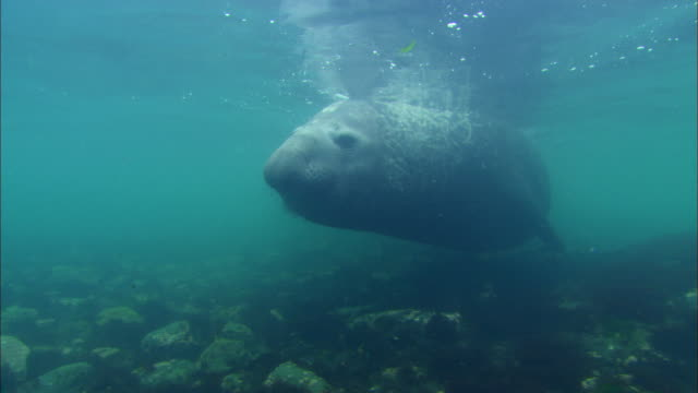 stockvideo's en b-roll-footage met wild elephant seal swimming underwater - zeeolifant