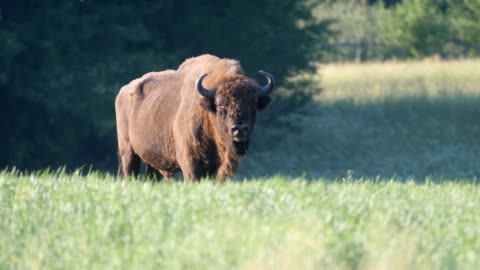 wild european bison in the meadow - 美洲野牛 個影片檔及 b 捲影像
