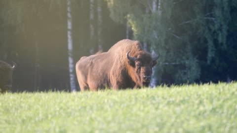 wild european bisons or wisent (bison bonasus) in the wild - 美洲野牛 個影片檔及 b 捲影像