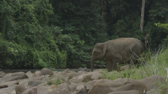 Wild female elephant scared away.