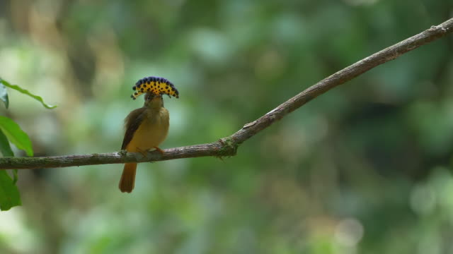 Wild Female Royal Flycatcher Display @180fps slo-motion