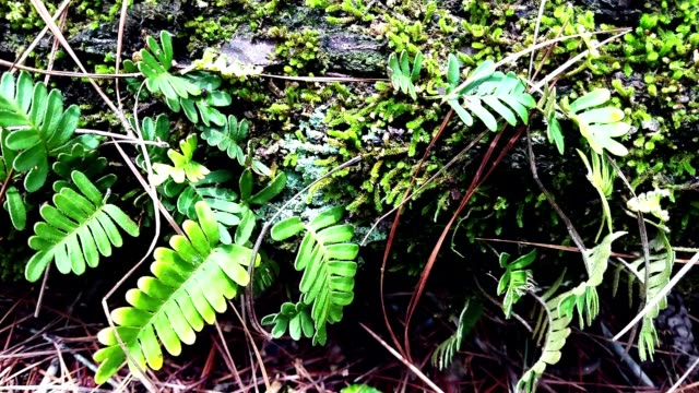 wild fern growing on a rotting fallen tree trunk. - spore stock videos and b-roll footage