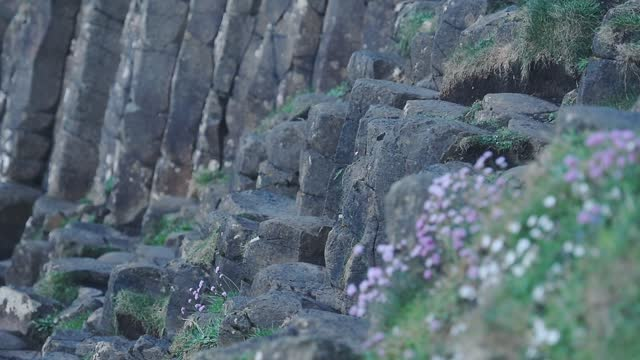 wild flowers and hexagonal geological formations close up view, giant causeway, northern ireland - boulder rock stock videos & royalty-free footage