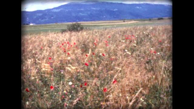 vidéos et rushes de 1971 wild flowers blowing in a swiss field - fleurs