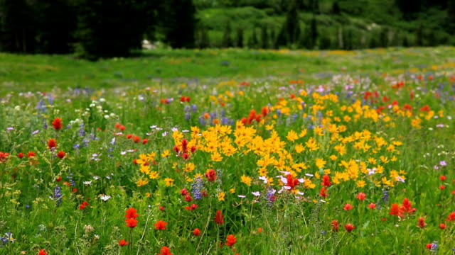 wilde blumen auf einer bergwiese - wildblume stock-videos und b-roll-filmmaterial