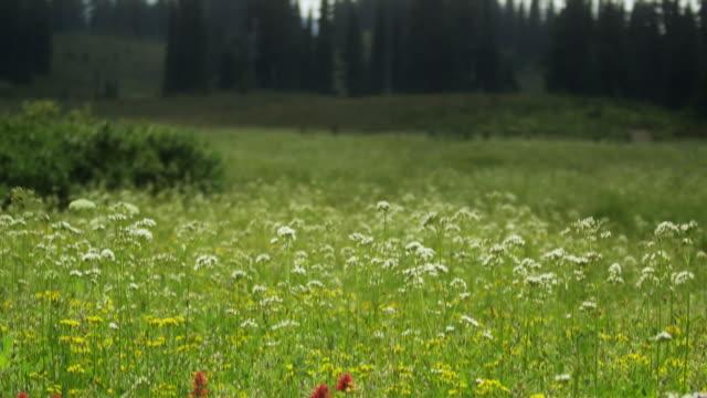 td ms wild flowers in meadow, garibaldi provincial park, squamish, british columbia, canada - garibaldi park stock videos & royalty-free footage