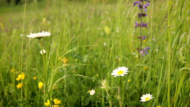 wild flowers in the meadow and the wind - yellow stock videos & royalty-free footage