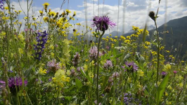 wild flowers - switzerland stock videos & royalty-free footage