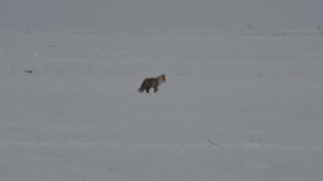 A wild fox dives into snow to hunt a mouse in Kars eastern province of Turkey on December 07 2017 Harsh winter conditions urges starving wild animals...