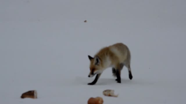 A wild fox walks through the snowy ground as a resident brings loaves to feed the fox of Karkamis District of Kars Turkey on February 05 2016 Harsh...