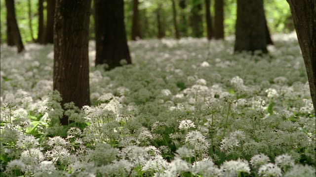 Wild garlic blooms surround the trees of a forest.
