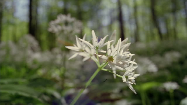 A  wild garlic flower grows in the forest.